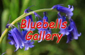 Bluebell-Gallery