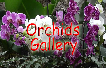 Orchids-Gallery